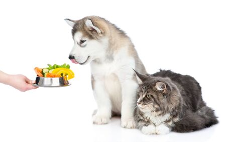 Alaskan malamute puppy and maine coon cat looking on a bowl of vegetables. Isolated on white background.