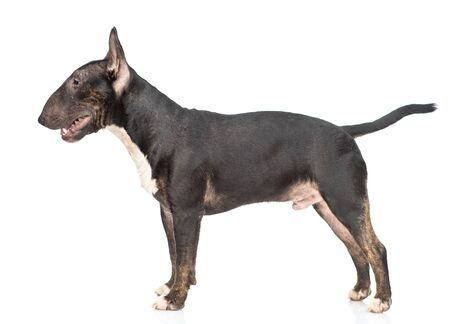 Miniature bull terrier dog standing in profile. isolated on white background.