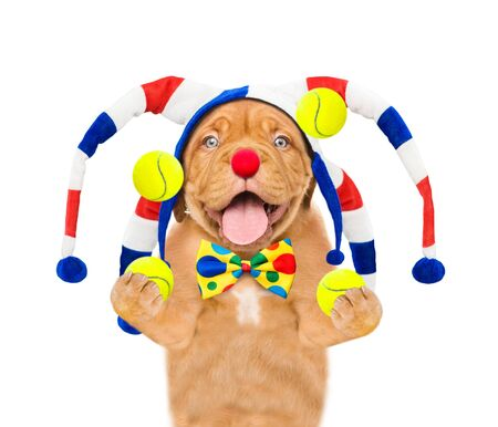 Smiling puppy dressed as a clown juggles with tennis balls. isolated on white background.