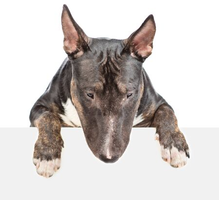 Miniature bull terrier dog above empty white banner looking down. isolated on white background.