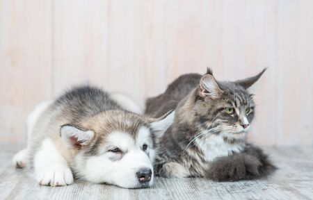 Alaskan malamute puppy lying with adult maine coon cat on the floor at home.