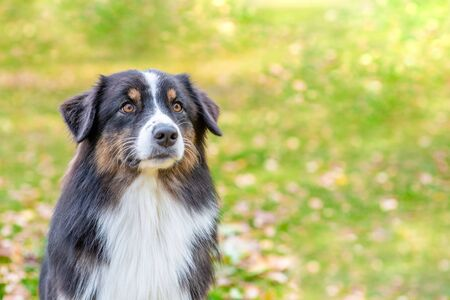Portrait of at australian shepherd dog lying in autimn park. Empty space for text.
