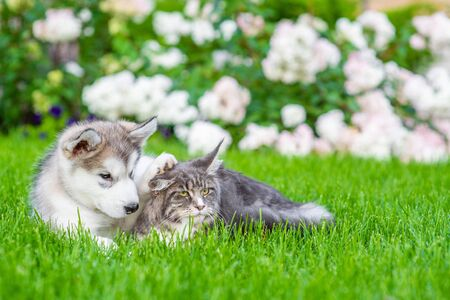 Maine coone cat and alaskan malamute puppy lying together on green summer grass. Foto de archivo