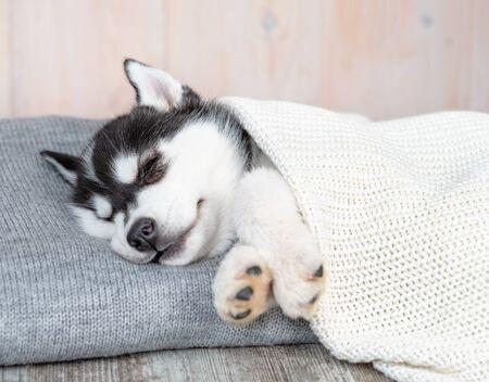 Sleeping Siberian Husky puppy sleep on pillow under blanket.