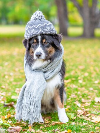 Australian shepherd dog with scarf and warm hat on his head sitting in autumn park.