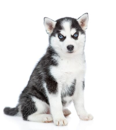 Siberian Husky puppy sitting in side view and looking at camera. isolated on white background.