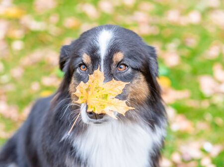 Australian shepherd dog with leaf on the nose sitting in autumn park.