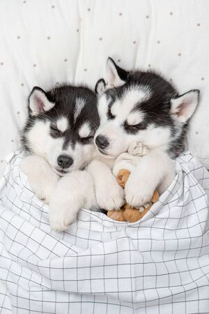 Two Siberian Husky puppies sleep together withtoy bear on pillow under blanket at home. Top view. Archivio Fotografico