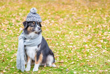 Australian shepherd dog with scarf and warm hat on his head sitting in autumn park. Empty space for text.