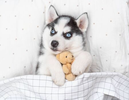 Playful Siberian Husky puppy embracing toy bear on pillow under blanket. Top view.