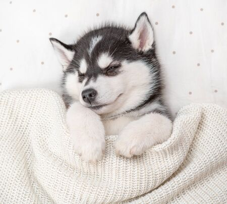 Sleeping Siberian Husky puppy sleep on pillow under blanket at home. Top view. Archivio Fotografico