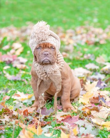 Dogue de bordeaux puppy with scarf and warm hat on his head sitting in autumn park.