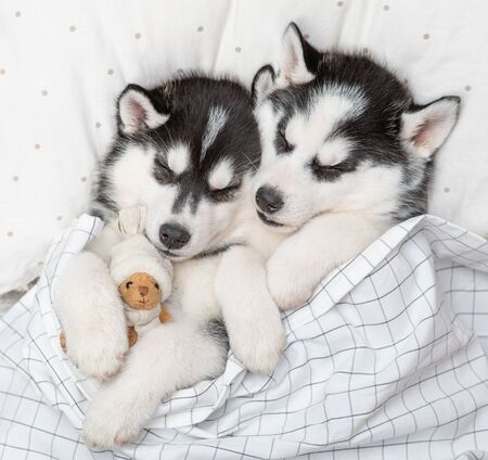 Two Siberian Husky puppies sleep together with toy bear on pillow under blanket at home. Top view.