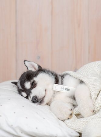Sick Siberian Husky puppy with high fever temperature laying in bed with a thermometer under his paw.