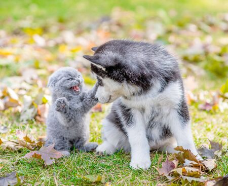 Scared small kitten hissing at a husky puppy in autumn park.