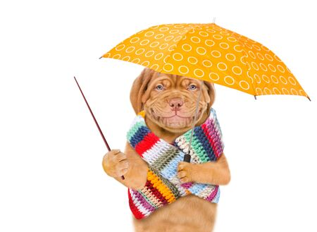 Smiling puppy wearing a warm scarf holds umbrella and point away on empty space. isolated on white background.