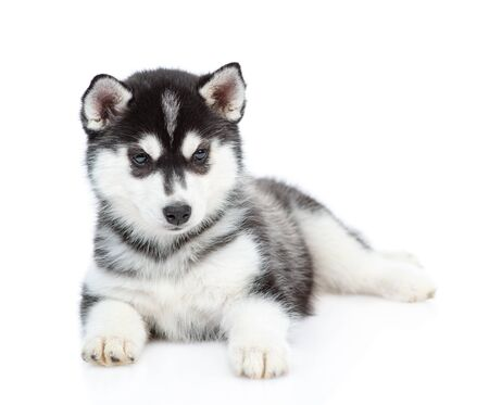 Siberian Husky puppy lies in front view and looks at camera. isolated on white background.