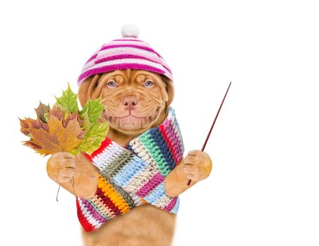 Smiling puppy wearing a warm hat and scarf with pompon holds dry colorful leaves and points away on empty space. isolated on white background. Banque d'images