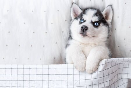 Blue-eyed Siberian Husky puppy lies on pillow under blanket. Empty space for text. Top view.