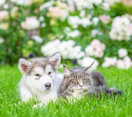 Adult maine coon cat lies with alaskan malamute puppy on green summer grass.