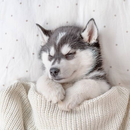 Cute Siberian Husky puppy sleep on pillow under blanket at home. Top view.