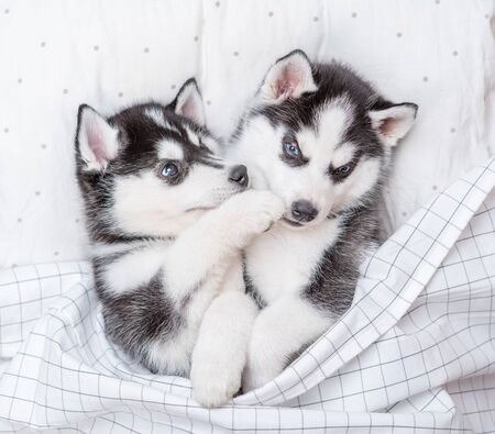 Two playful Siberian Husky puppies lie together on pillow under blanket at home. Top view.