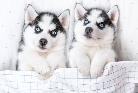 Two Siberian Husky puppies lie on pillow under blanket. Top view. Archivio Fotografico