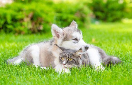 Alaskan malamute puppy hugs adult maine coon cat on green summer grass.