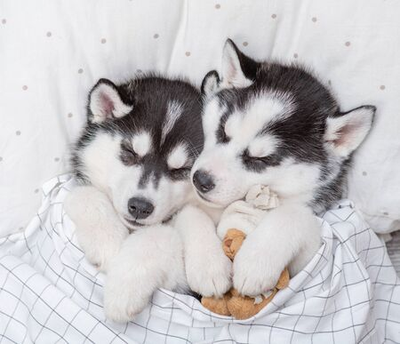 Two cute Siberian Husky puppies sleep together with toy bear on pillow under blanket at home. Top view.