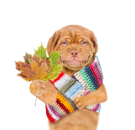 Smiling puppy wearing a warm scarf holds dry colorful leaves. isolated on white background. Banque d'images