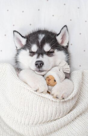Siberian Husky puppy sleeps on pillow under blanket and hugs toy bear. Top view.