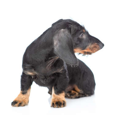 Dark dachshund puppy sits and looks away on empty space. isolated on white background.