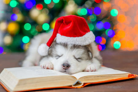 Alaskan malamute puppy wearing red santa hat sleeps on the book with Christmas tree on background.