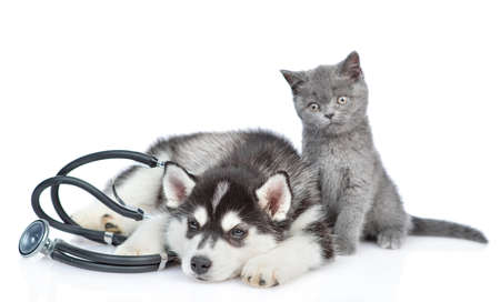 Siberian Husky puppy with stethoscope on his neck lies with a british kitten. isolated on white background. 写真素材 - 151126199