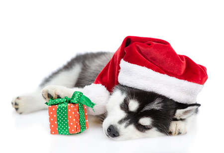 Siberian Husky puppy wearing a red christmas hat sleeps with small gift box. isolated on white background. Stock Photo