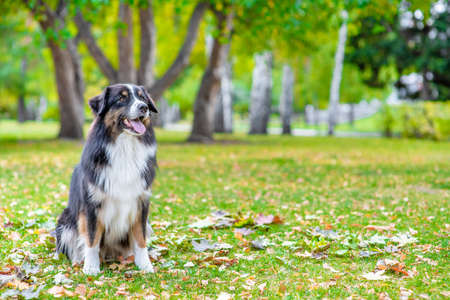 Australian shepherd dog sits on the autumn lawn. Empty space for text.