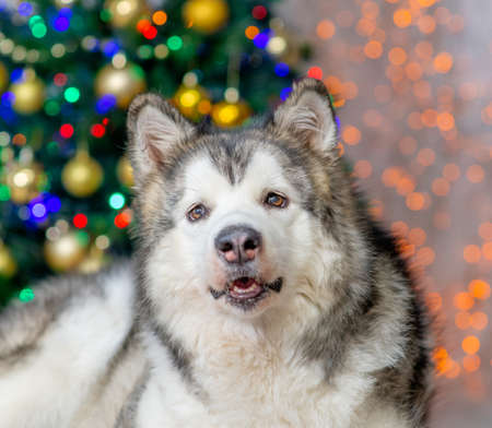 Portrait of a adult Alaskan malamute dog with  Christmas tree on a background. Imagens