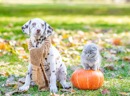 Dalmatian puppy wearing a warm scarf sitts with a kitten at autumn park. Imagens