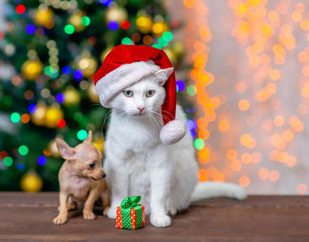 Adult angora cat wearing a red santa hat sits with tiny toy terrier puppy and gift box with Christmas tree on background. Imagens