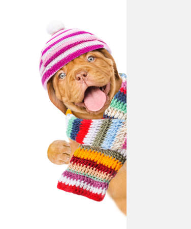 Happy puppy wearing a warm hat and scarf looks behind empty board. isolated on white background.