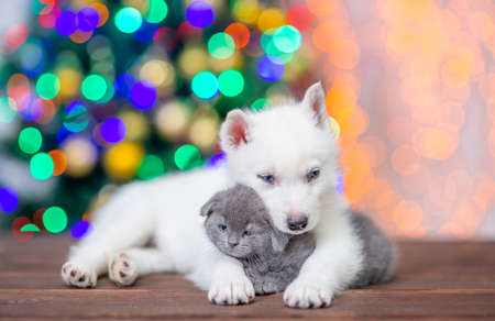 White siberian husky hugs baby kitten on a background of the Christmas tree. Imagens