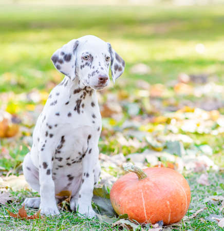 Young dalmatian puppy sitts with a pumpkin at autumn park. Imagens