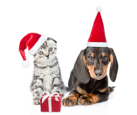 Dachshund puppy and gray kitten wearing a red christmas hats sit together with gift box. isolated on white background.