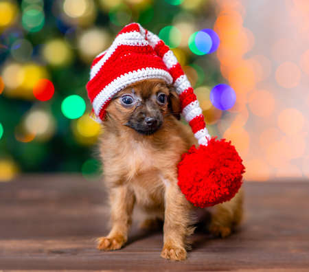 Funny tiny toy terrier puppy wearing a warm hat sits on festive background.