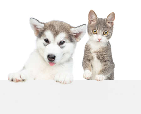 Alaskan malamute puppy and young cat over empty white banner look at camera. isolated on white background. Archivio Fotografico