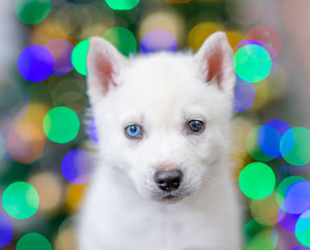 Portrait of a husky puppy with different eyes on a background of the Christmas tree.