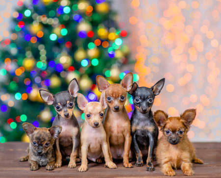 Group of the toy terrier puppies sit on festive Christmas background.