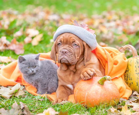 Puppy wearing a warm hat lies with a kitten on autumn foliage with a pumpkin.