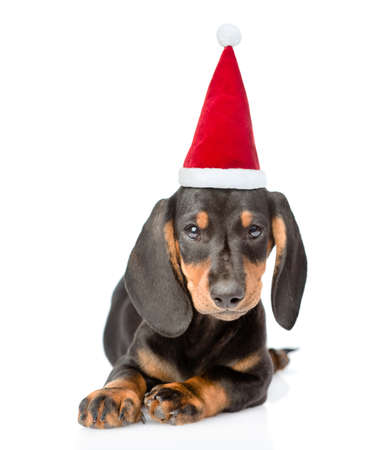 Dachshund puppy wearing a red christmas hat lies in front view and looks at camera. isolated on white background.