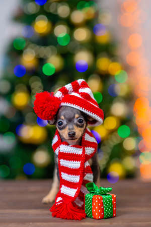 Funny tiny toy terrier puppy wearing a warm scarf and  hat with pompon stands with gift box on festive Christmas background.